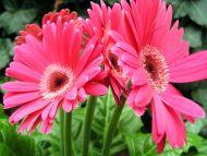 pink gerbera flowers wallpapers - photo #24
