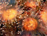 Golden Cup Corals, Anacapa Island, California