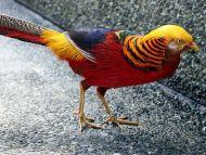 Desktop Wallpapers Animals Backgrounds Golden Pheasant