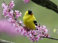 Goldfinch on a Redbud Tree