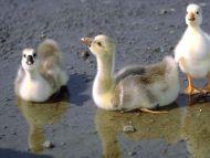 Goslings, Goose Babies