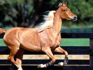 Grandeur, Arabian