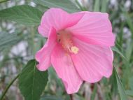 Great Pink Flower