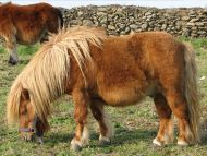 Hairy Horse