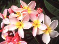 Desktop wallpapers flowers backgrounds hawaiian plumeria www hawaiian plumeria izmirmasajfo