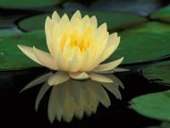 Hybrid Water Lily