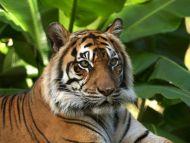 I am a Tiger