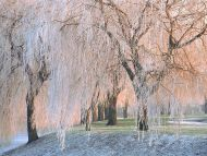 Ice Covered Willow Trees