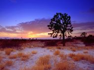 desktop wallpapers » natural backgrounds » joshua tree sunset