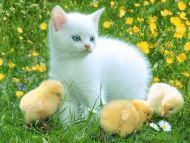 Kitty and Chicken a Friends