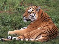 Laid Back, Siberian Tiger
