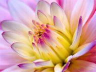 Lavender Love, Dahlia