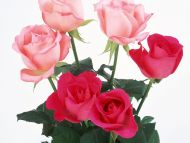 Light And Dark Pink Roses