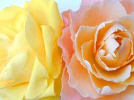 Light Orange and Yellow Roses