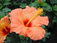 flowers gardens backgrounds light orange hibiscus light orangeOrange Hibiscus Flowers