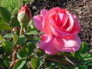 Desktop Wallpapers Flowers Backgrounds Light Pink Rose