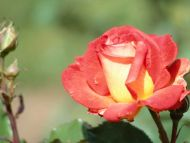 Light Red Yellow Rose
