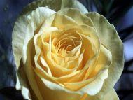Light Yellow Rose