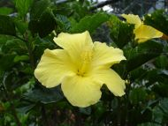Desktop Wallpapers Flowers Backgrounds Light Yellow Tropical