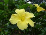 Light Yellow Tropical Flower