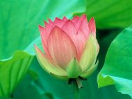 Lovely Lotus Flower