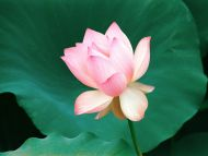 Desktop Wallpapers Flowers Backgrounds Loves First Bloom Lotus