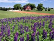 Lupines, Kings County, Prince Edward Island, Canada
