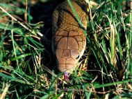 Lurking in the Grass, King Cobra