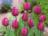 Magnificent Beauty of Tulips