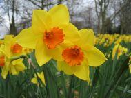 Maincampus Daffodil