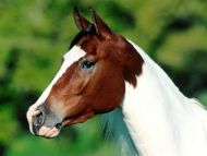 Make My Day, Arabian Pinto