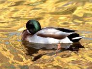 Mallard Duck, Indianapolis, Indiana