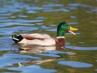Mallard Quack