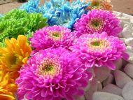 Many Colourful Dahlia