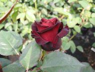 Maroon Flowers Wallpaper Maroon Rose