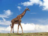 Masai Giraffe, Masai Mara, Kenya
