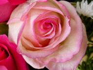 Miniature Pink Rose