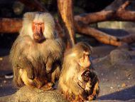 Monkey with Baby Monkey