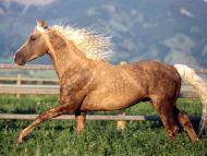 Desktop Wallpapers Animals Backgrounds Morgan Stallion Www
