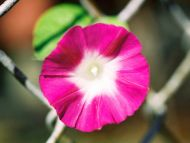 Desktop Wallpapers Flowers Backgrounds Morning Glory Pink And