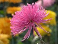 Mum Spider Fugi Pink