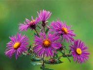 desktop wallpapers flowers backgrounds new england asters www