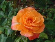 Nice Orange Rose