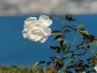 Nice White Rose