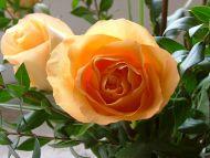 Nice Yellow Roses
