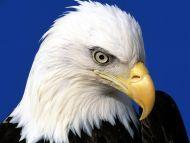 birds backgrounds noble lead bald eagle noble lead bald eagle