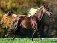 Noble Locks, Rocky Mountain Horse