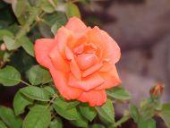 Orage Rose