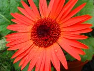 ... flowers gardens backgrounds orange gerbera daisy orange gerbera daisy