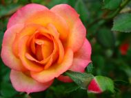Desktop Wallpapers » Flowers Backgrounds » Orange Rose ...